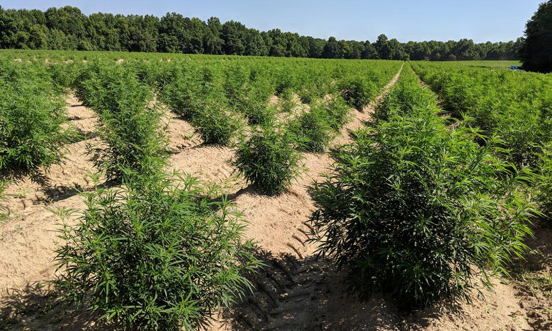 Выращивание конопли в калифорнии марихуана как чай