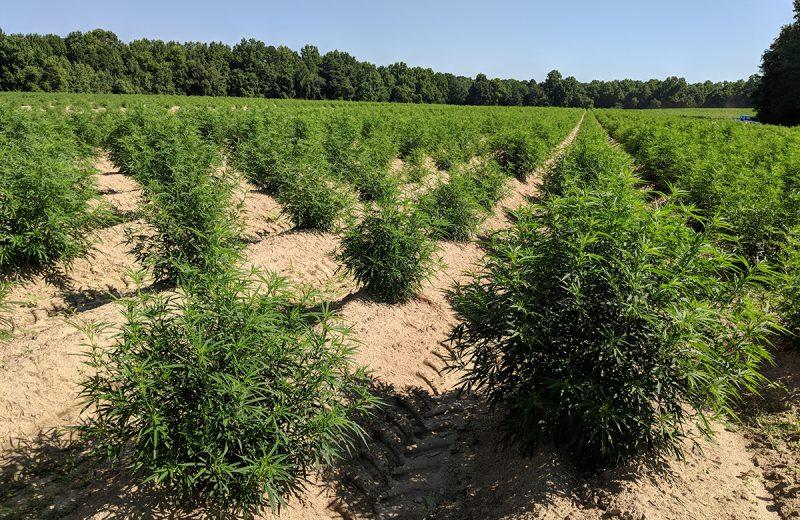 Производство легальной марихуаны в Калифорнии (фото)