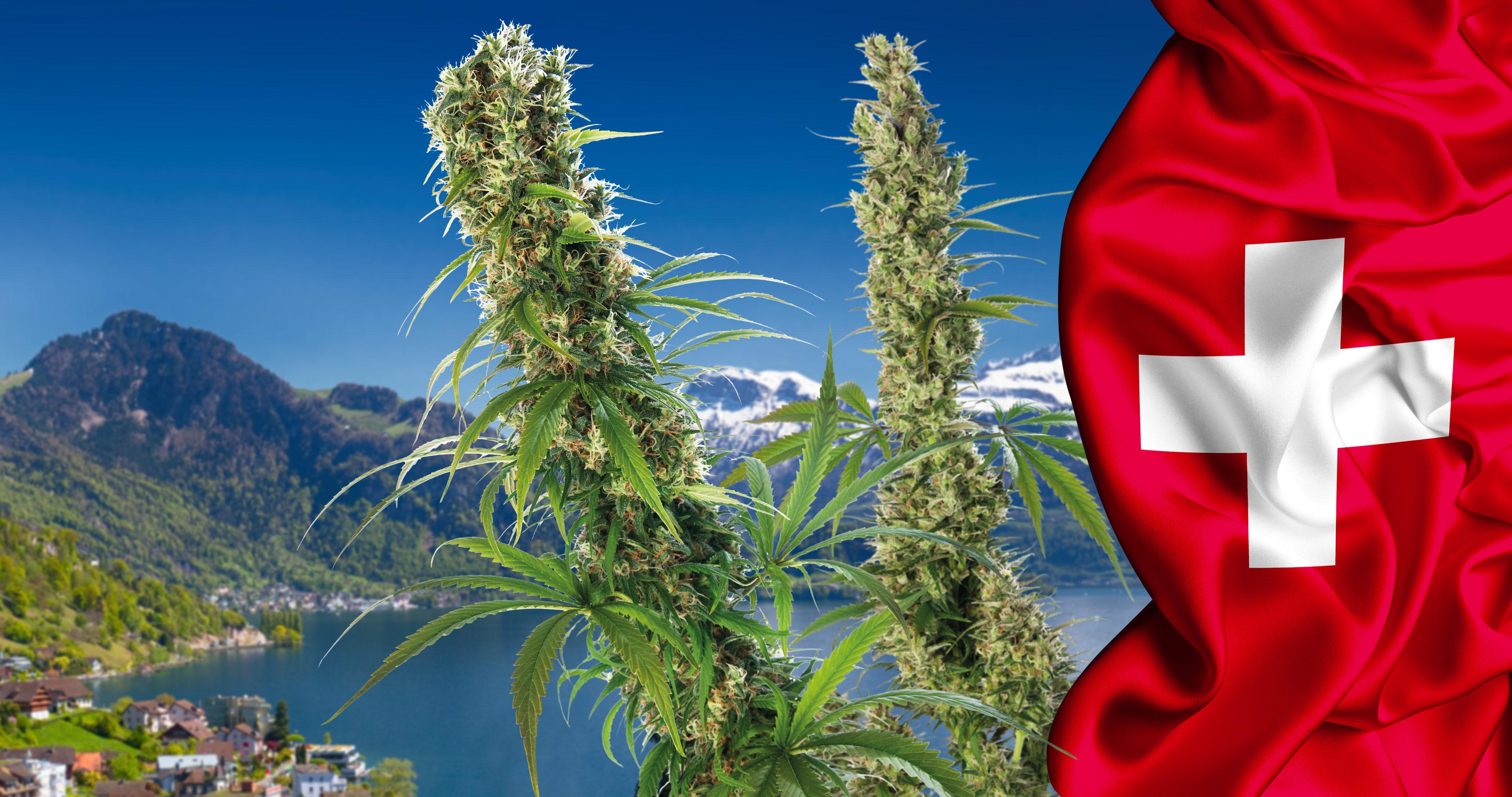 Марихуана швейцария марихуана зуд