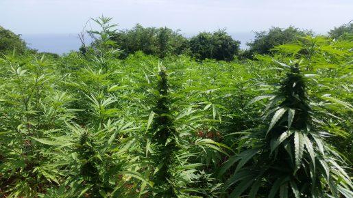 jamaica,weed,cannabis,errors,seeds,errors seeds,marijuana,