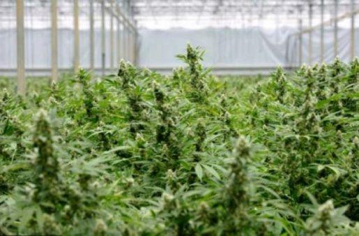 криминал и конопля, выращивание марихуаны, украина и конопля,