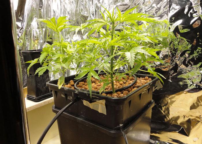 выращивание конопли, выращивание, семена конопли, словарь терминов, гидропоническая установка, выращивание на гидропонике,
