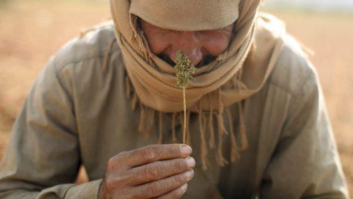 легальность каннабиса в ОАЭ, марихуана, гашиш, конопля, курение марихуаны, употребление марихуаны,