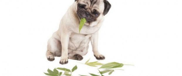 лечение-домашних-животных-при-помощи-конопли
