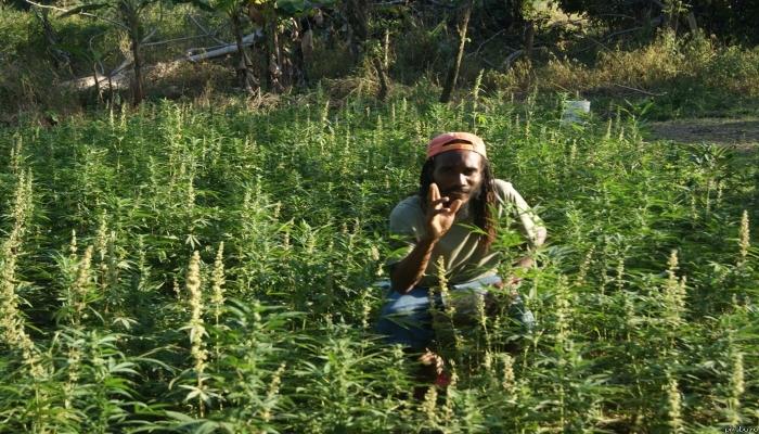 выращивание марихуаны, выращивание конопли, сортовая конопля,