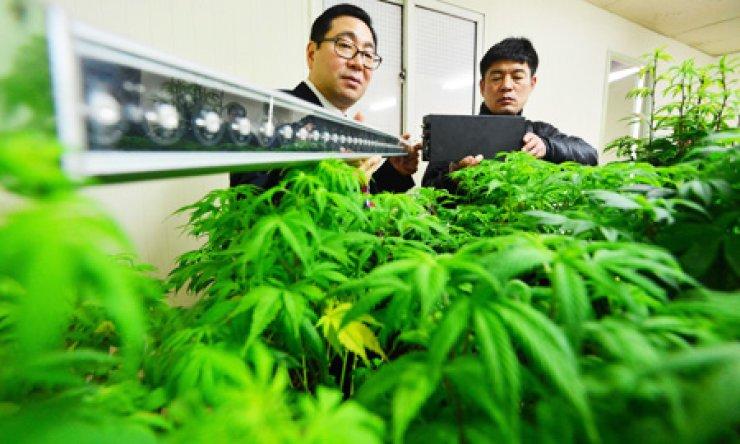 медицинская марихуана, каннабис, легализация,