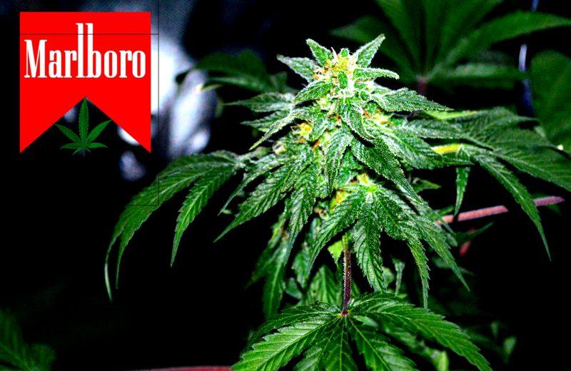 Производитель сигарет Marlboro займется выращиванием марихуаны