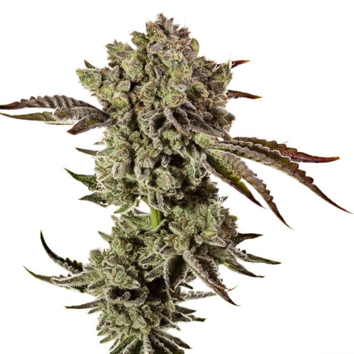 сорта марихуаны, победители кубков, обзор топовых сортов марихуаны,