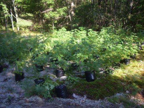 выращивание марихуаны, выращивание конопли, методы выращивания конопли,