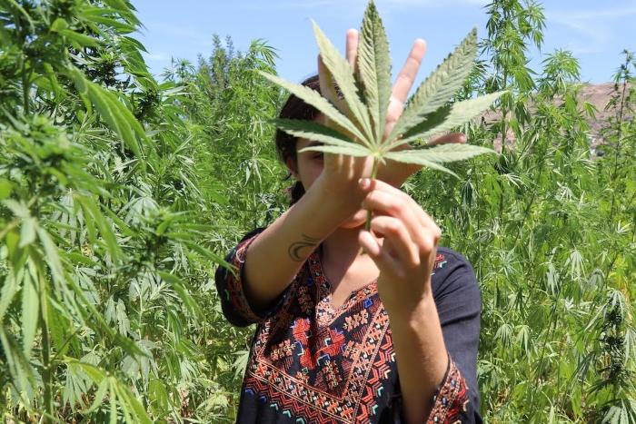 выращивание конопли, выращивание марихуаны, марихуана в мире, марокканский гашиш, гашиш,