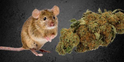 хранение марихуаны, преступления ментов, правосудие грядёт,