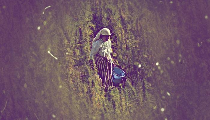 выращивание марихуаны, марихуана в мире, марокканский гашиш, гашиш, выращивание конопли,