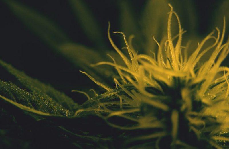 growing cannabis, выращивание марихуаны, марихуана, каннабис,