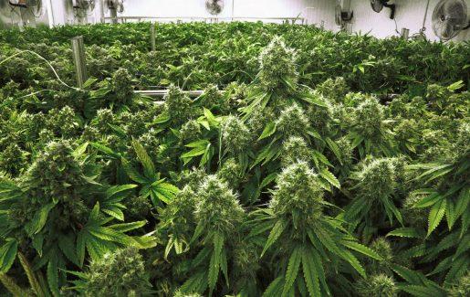 украинский стартап, конопля, марихуана, доставка марихуаны, легализация, калифорния,