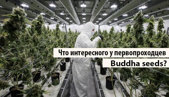 Что интересного у первопроходцев Buddha seeds?