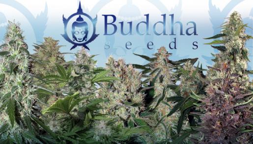 buddha seeds, errors seeds, seed bank, cannabis, marijuana, конопля, сидбанк, марихуана, сортовой каннабис, 420, weed, семена конопли, купить недорого, buddha,