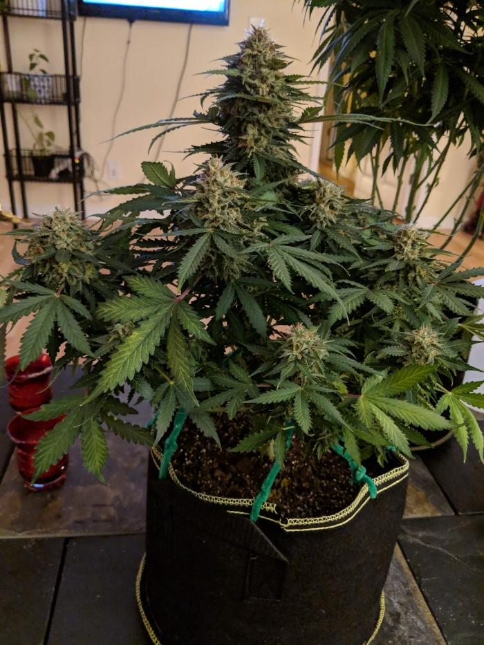 victory seeds, errors seeds, seed bank, cannabis, marijuana, конопля, сидбанк, марихуана, сортовой каннабис, 420, weed, семена конопли, купить недорого, качественные семена конопли,